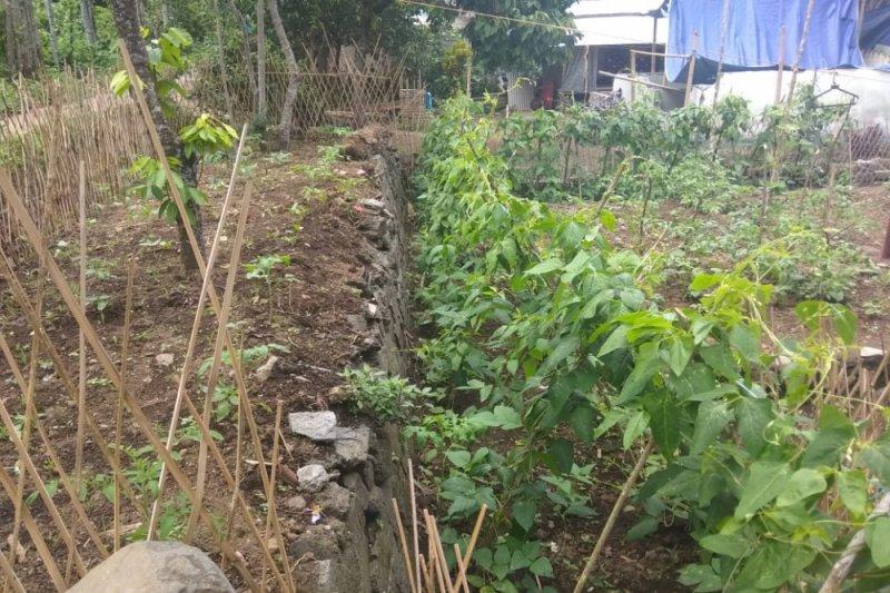 Warga Senaru mulai menanam sayur di pekarangan rumah