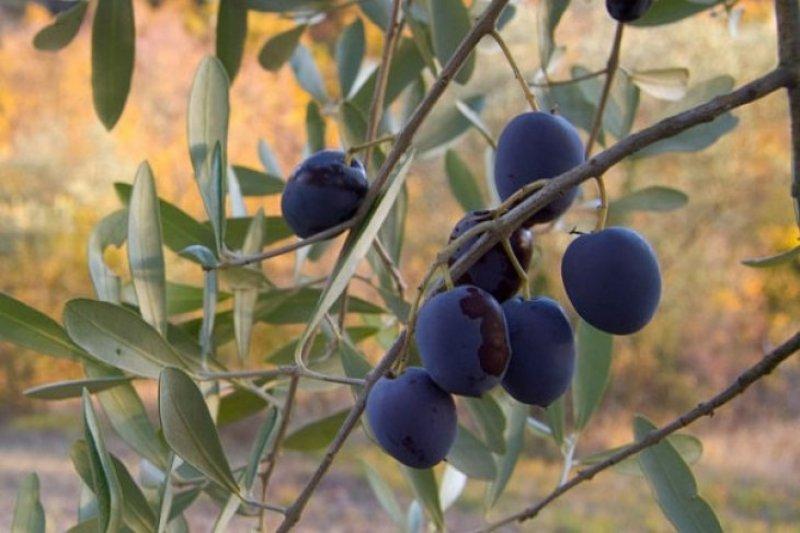 Pemukim Yahudi cabuti anak pohon Zaitun-Almond