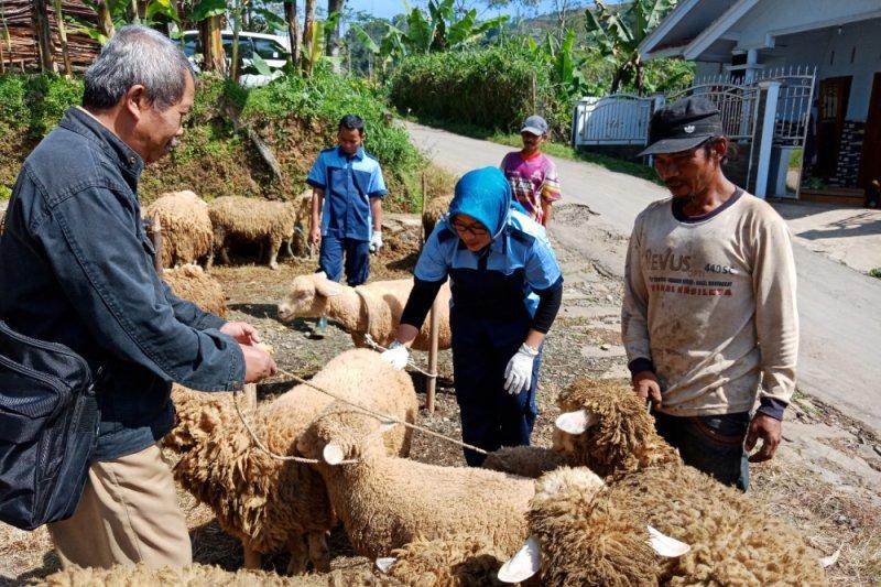 Banjarnegara targetkan populasi domba Batur capai 8.750 ekor