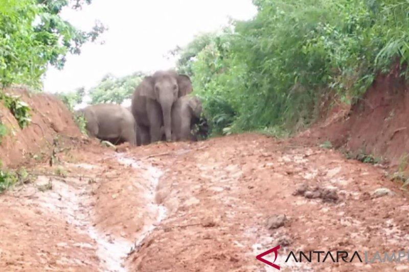 Jalur ini merupakan tempat mencari makan kawanan gajah