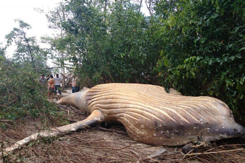 Paus Bungkuk ditemukan mati di hutan bakau
