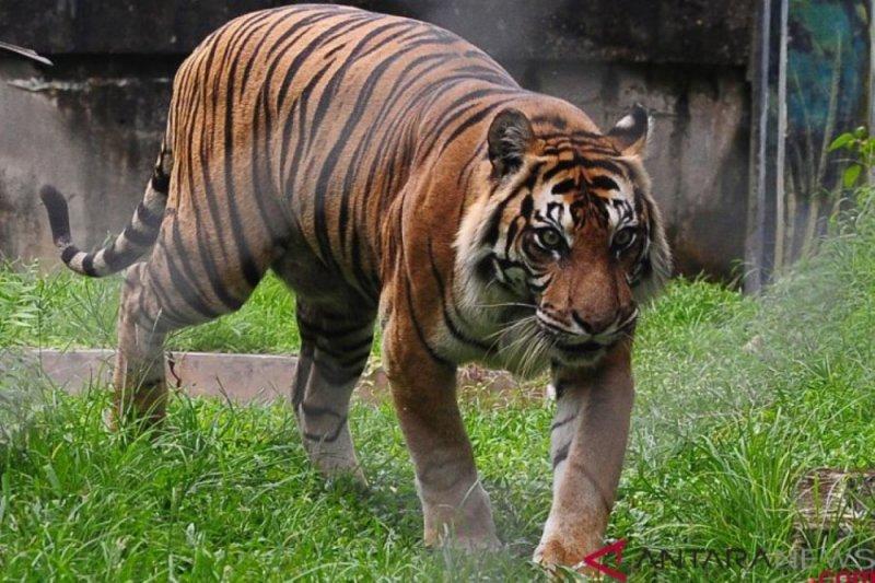 Harimau sumatera yang tewaskan buruh panen akasia tidak akan ditangkap. Begini penjelasan BBKSDA Riau