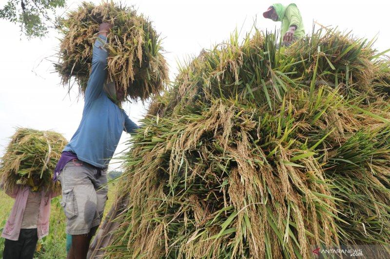 Produksi beras tahun 2019 diperkirakan turun akibat kekeringan