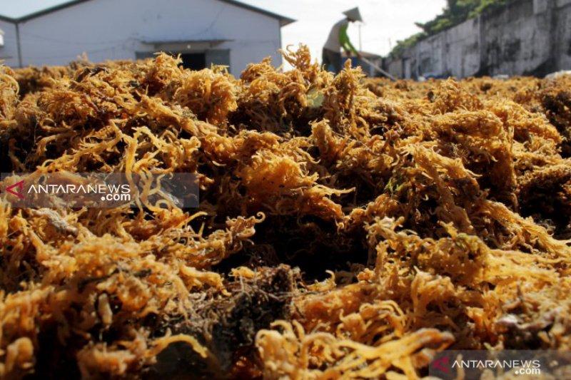 Nunukan ekspor perdana  21 ton rumput laut ke Tiongkok
