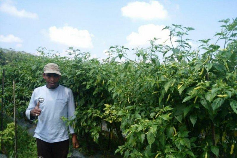 YBM-BRI bantu petani kembangkan budi daya cabai rawit