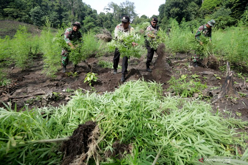Ladang ganja di Aceh Besar