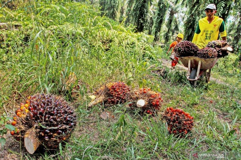 Harga sawit dan CPO di Jambi juga turun