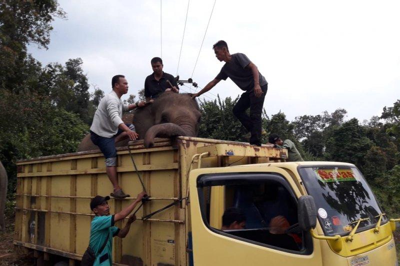 Delapan gajah di hutan konservasi terpaksa dievakuasi