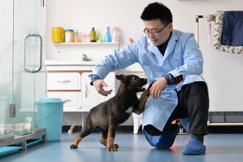 "Ilmuwan China mengkloning anjing polisi ""Sherlock Holmes"""