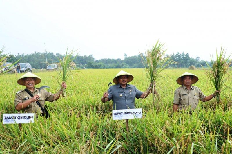 Bupati Indramayu imbau petani tidak jual hasil panen saat harga jual turun