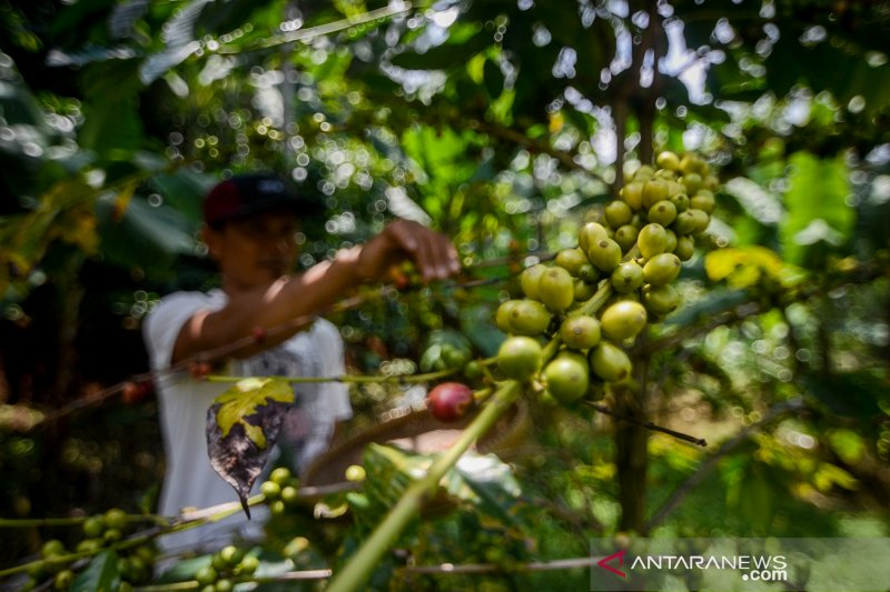 Produktivitas kopi di Indonesia rendah