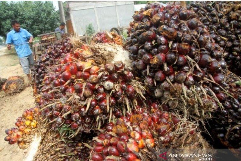 Perlukah undang-undang khusus kelapa sawit?