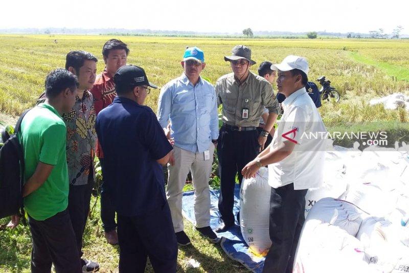 Kementerian Pertanian pantau panen dan harga gabah di Jember