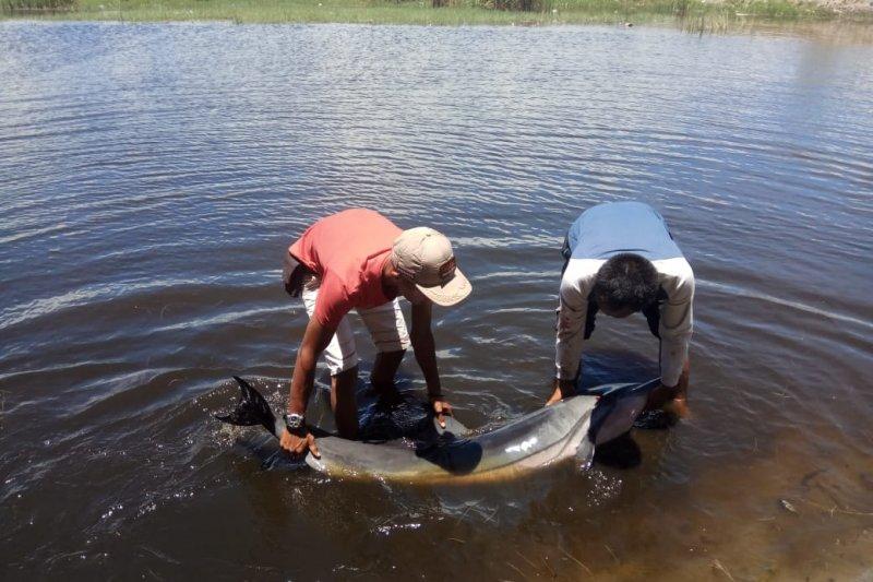 Masyarakat selamatkan lumba-lumba terdampar