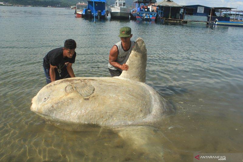 Ikan Mola-mola terdampar di Teluk Ambon