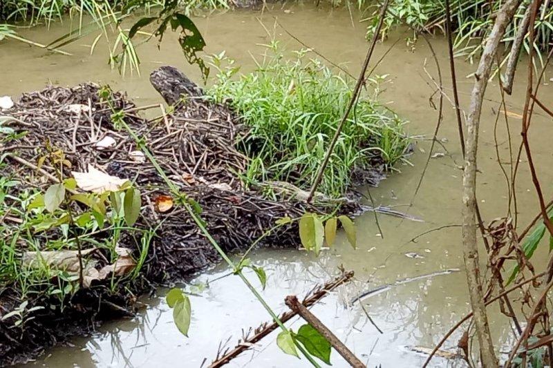 Setelah telurnya menetas, induk buaya di Agam mulai buka jalan kembali ke habitatnya