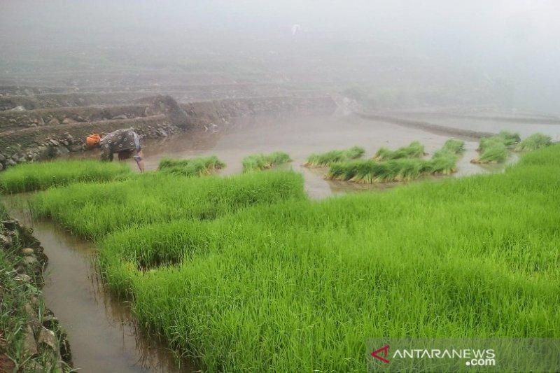 Padi beras merah dan hitam dikembangkan di Kabupaten Pekalongan