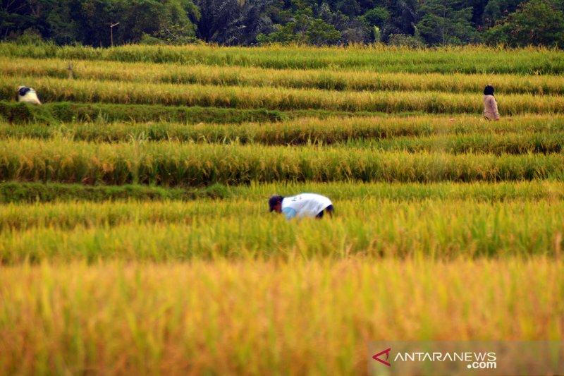40.000 hektare sawah di Karawang ditargetkan masuk asuransi pertanian