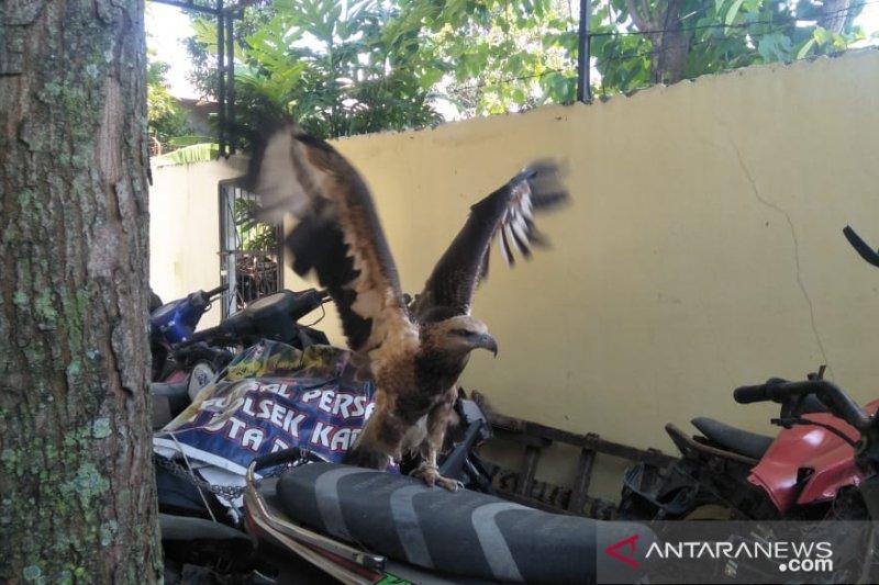 Diduga elang brontok dipelihara secara ilegal