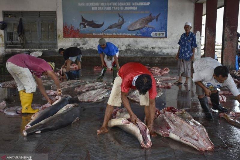 LIPI rekomendasikan pengelolaan dan pemanfaatan hiu lanjaman