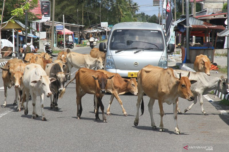 Kerumunan sapi di lintas barat Aceh sering sebabkan kecelakaan