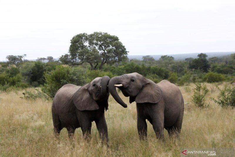 Ratusan lebih gajah di Botswana mati