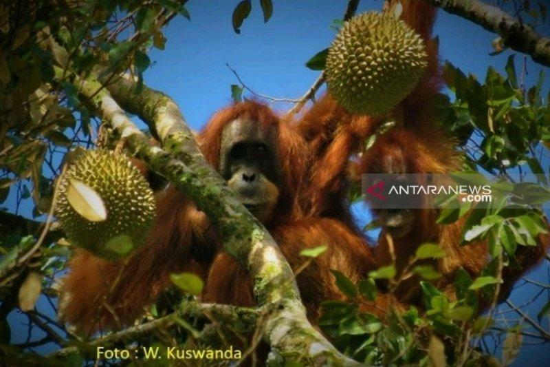 Wah.. Orangutan Tapanuli ternyata sukai buah durian