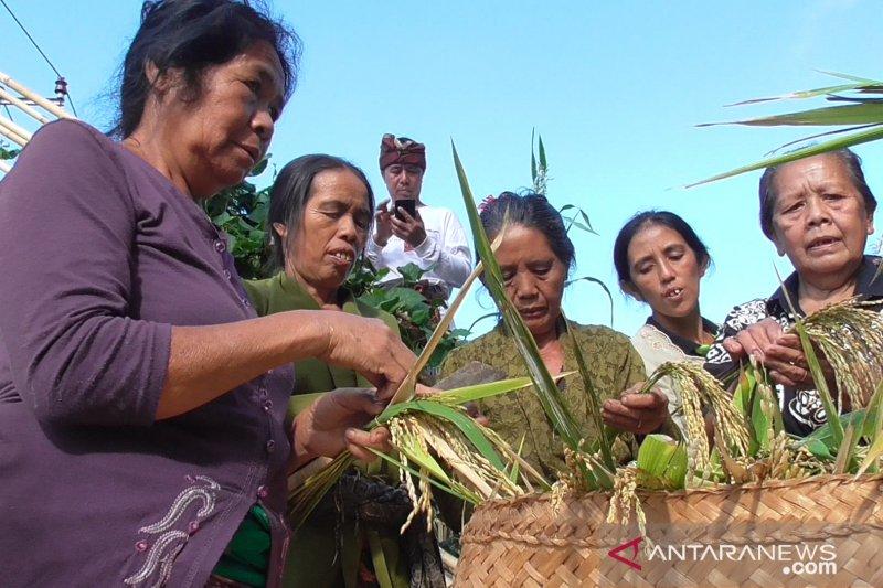 "Jelang panen padi gaga, Warga Buleleng adakan ritual ""Ngetus"""