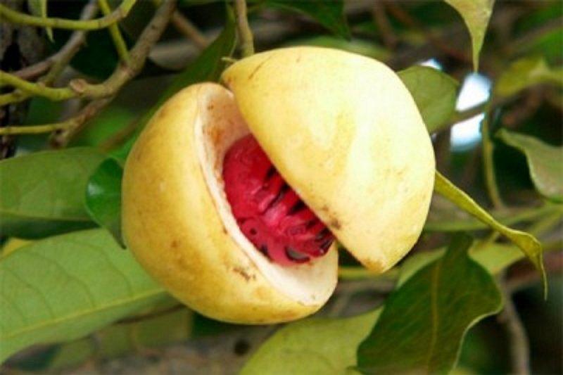 Sulawesi Utara ekspor 10 ton fuli pala ke Belanda