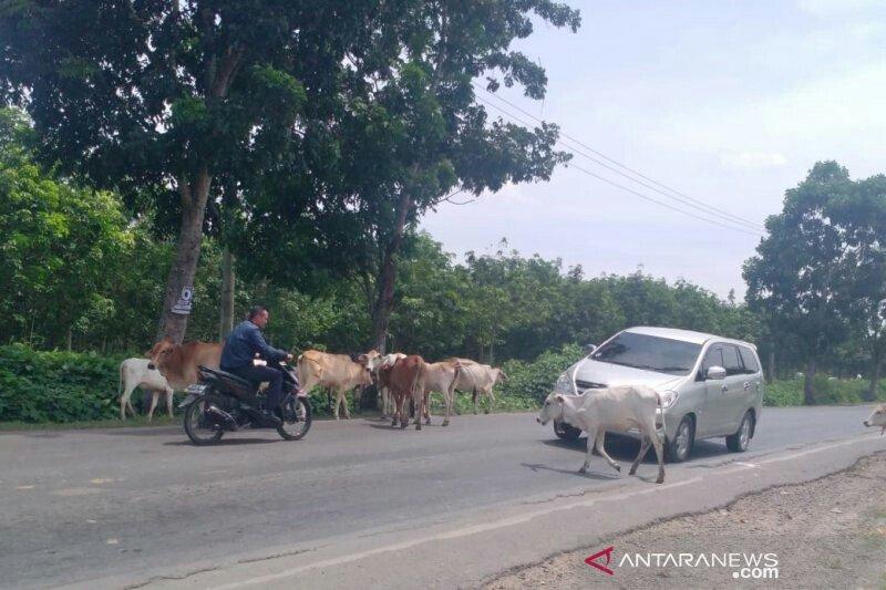 Pemudik waspadai hewan ternak di jalan lintas Sumatera