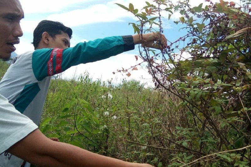 Mahasiswa Unimed ciptakan tanaman andaliman jadi parfum