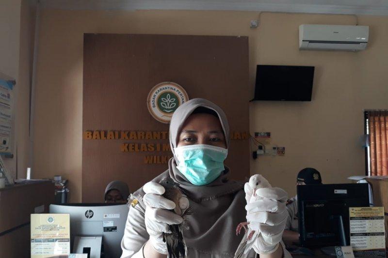 Tujuh burung dari Malaysia disembunyikan dalam paralon