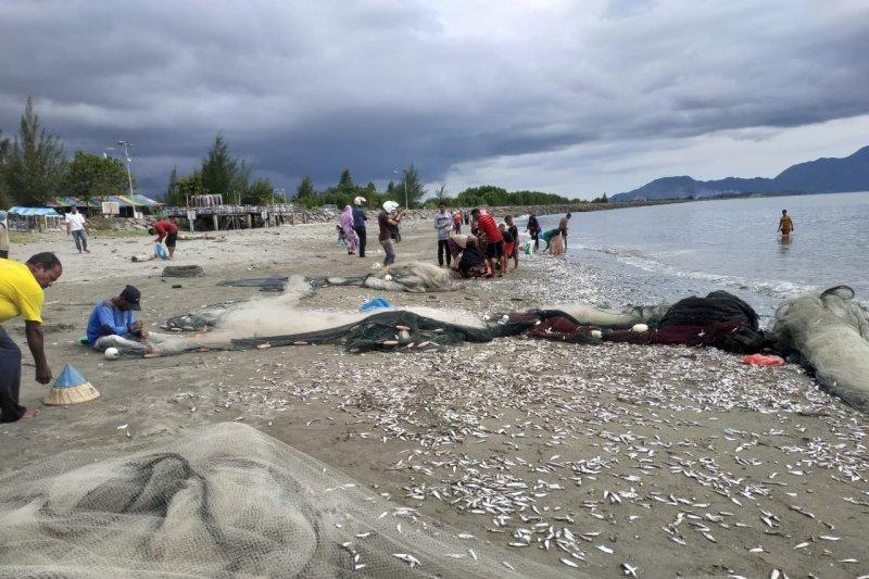 Ikan sejenis teri diduga diserang predator terdampar di pantai Aceh
