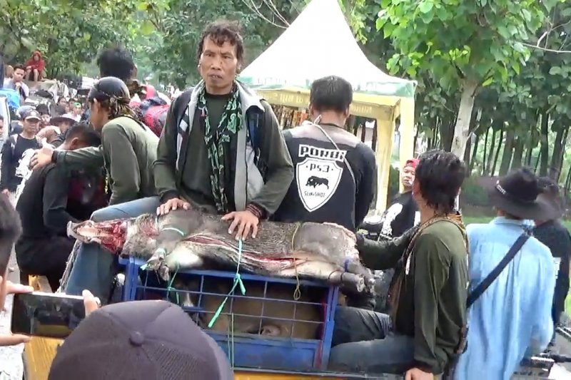 Cara tradisional berburu babi hutan di Kuningan