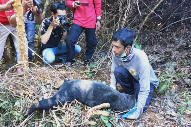 BKSDA evakuasi dua ekor beruang madu terjerat perangkap di Abdya