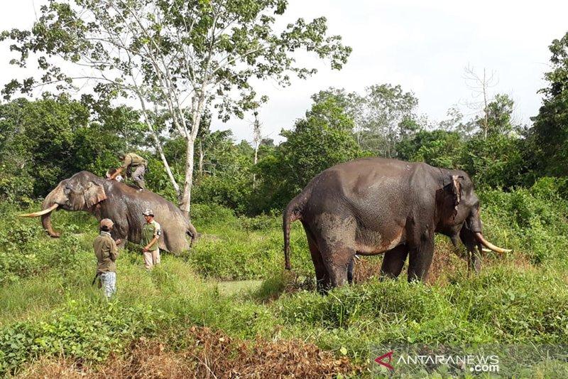Operasi menghalau gajah liar di Riau belum berhasil