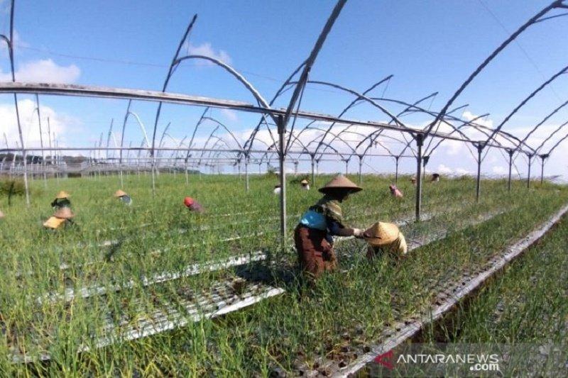 Kementerian Pertanian akan lanjutkan kebijakan wajib tanam bawang putih