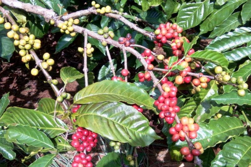 Petani kopi Ulubelu berharap harga stabil