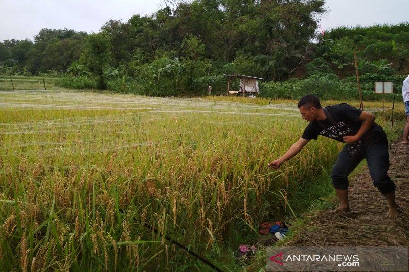 Suplai air irigasi ribuan hektare sawah di Kudus berpotensi terganggu