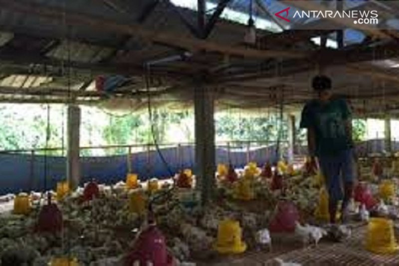 Jateng kelebihan stok, ada 40 juta ayam siap dijual