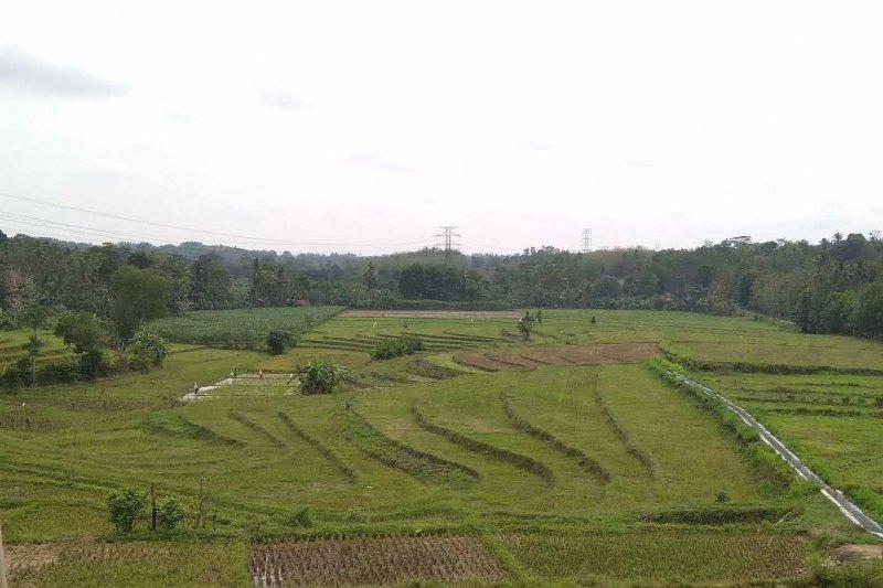 Produksi padi di Kota Metro Lampung terancam menurun