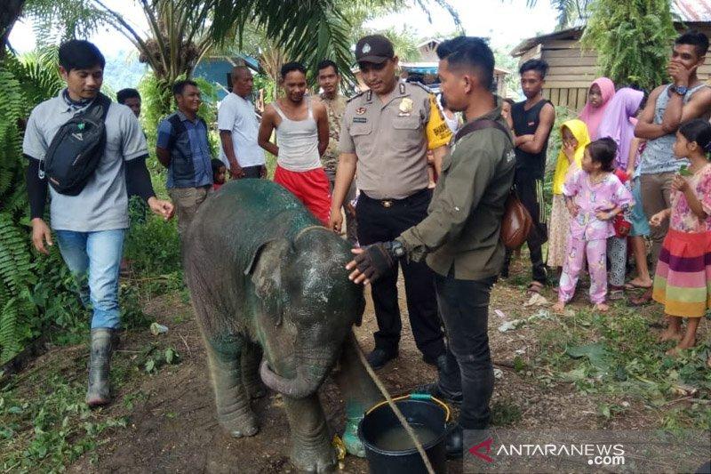 Anak gajah kena jerat, dirawat di CRU Serbajadi