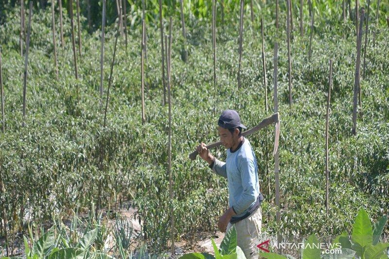 Produksi melimpah, harga sayuran di tingkat petani di Selo anjlok