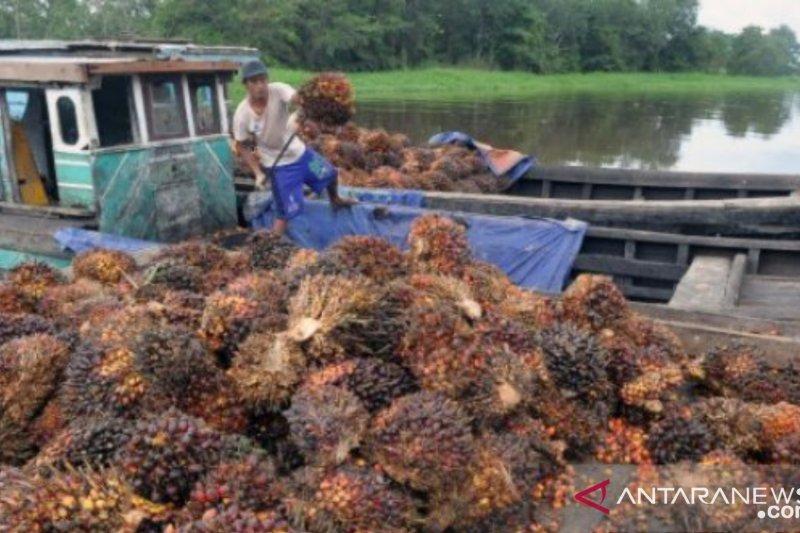 Harga CPO di Jambi naik signifikan, tembus Rp6.500/kg