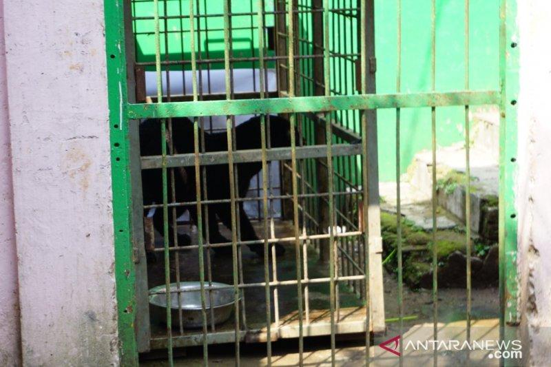 Wah... Macan tutul masuk pemukiman warga di Subang