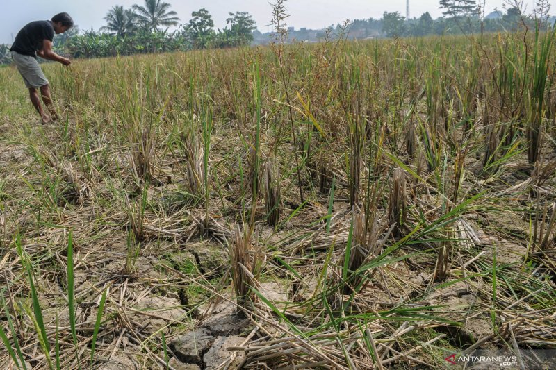 Serangan hama wereng, puluhan hektare  tanaman padi di OKU Timur terancam gagal panen