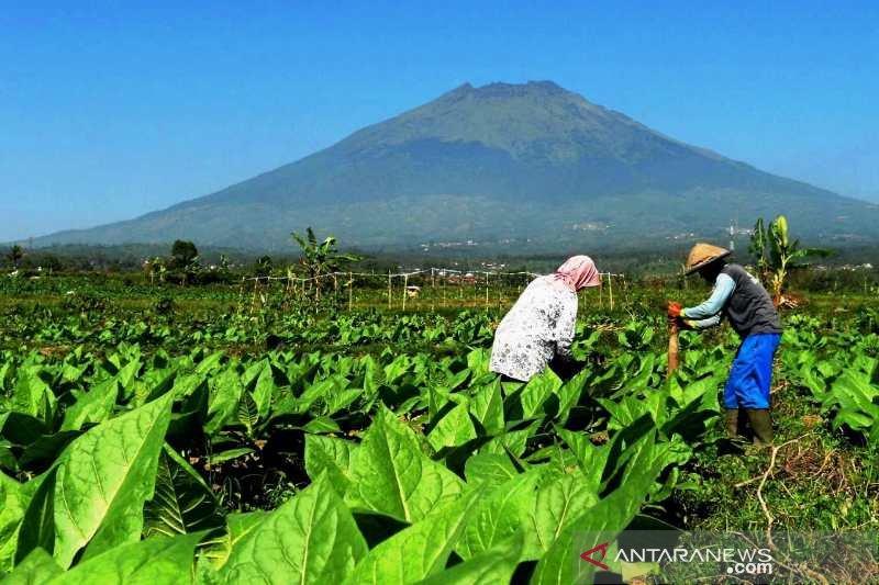 Petani bakal senang, kualitas tembakau 2019 diperkirakan lebih baik
