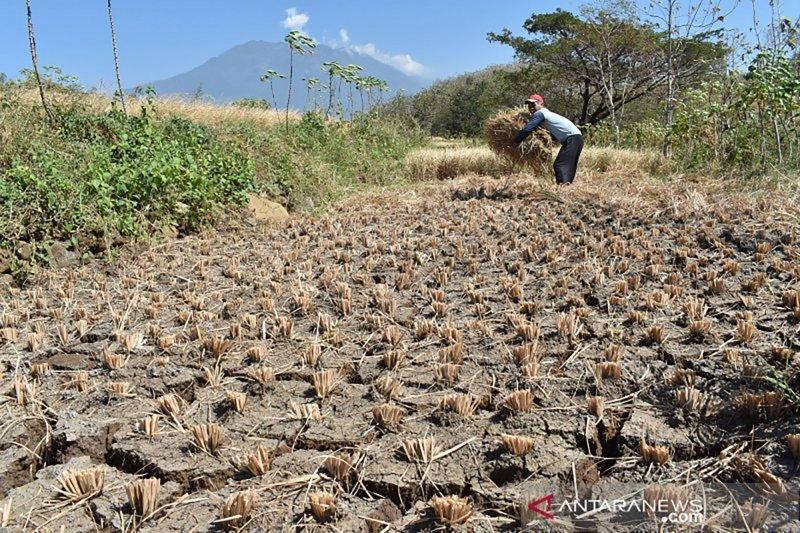 Ribuan hektare padi di Gunung Kidul gagal panen