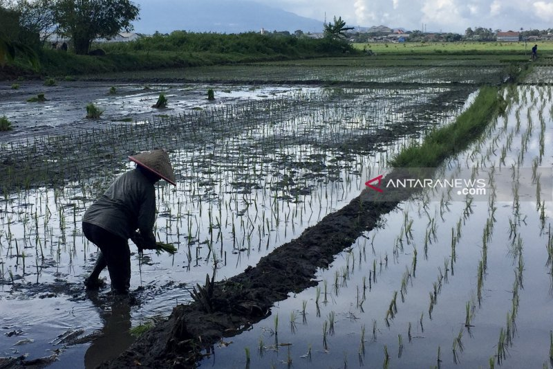 Produksi tanaman pangan Kabupaten Malang belum terganggu musim kemarau
