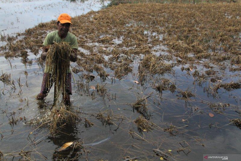 70 ribu hektare tanaman padi di Konawe gagal panen akibat banjir